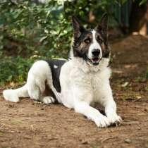 Тор - большой добрый пес ищет дом, в Москве