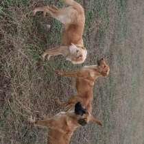 Продам щенков, в г.Тбилиси