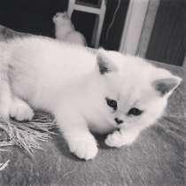 Британские котята, в г.Минск