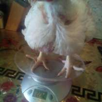 Цыплята бройлерные, в г.Борисов