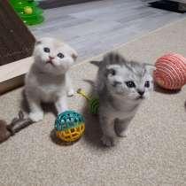 Чистокровные шотландские котята, в Нижнем Новгороде