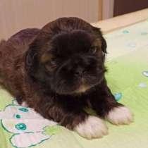Продаются щенки шит-цу, рождённые 07.04.2021г, в Балашихе