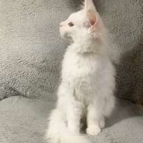 Котёнок мейн кун, в Нижнем Новгороде