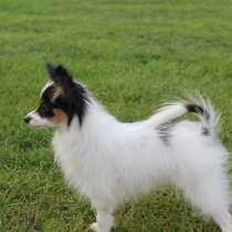 Продам щенка папильона, в г.Днепропетровск