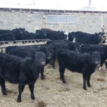 Бычки, телята, нетели, коровы, телки, в Сибае