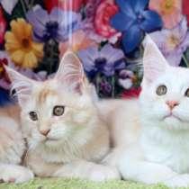 Кошечки Мейн кун окрас красный дым, в Казани
