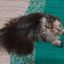 Персидская кошка, в Москве