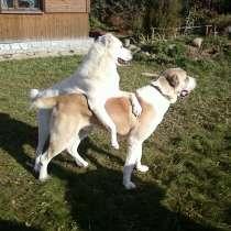 Инструктор по вязкам собак, в Москве
