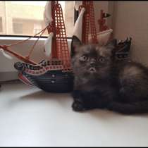 СРОЧНО!!! Чистокровные шотландские котята, в Ростове-на-Дону
