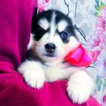Продажа красивых хаски щенков, в Северодвинске
