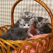 Шотландские котята, в Ставрополе