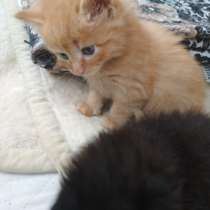 Котята сибирские, в г.Могилёв