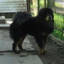 Продам собачий пух тибетского мастифа, в Санкт-Петербурге