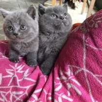 Британские котята, в Краснодаре