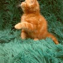 Домашний котенок от титулованных родителей!, в г.Кривой Рог