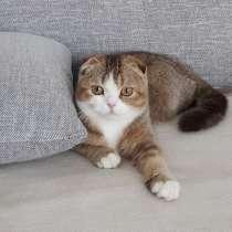Продается шотландская вислоухая кошка в разведение, в г.Лимбург-на-Лане