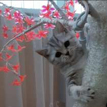 Шотланские котята, в Раменское