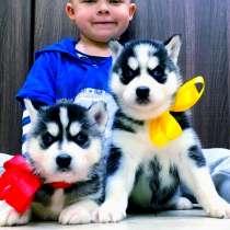 Красивые черно-белые щеночки хаски, в Селятино