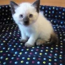 Продам ТАЙСКОГО котёнка!!, в Находке