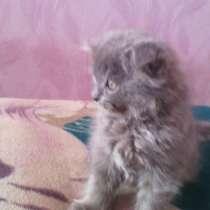 Продаются британские котята, в г.Макеевка