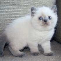 Колорные котята с голубыми глазками, в Санкт-Петербурге