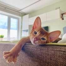 Абиссинский котенок, в Электростале