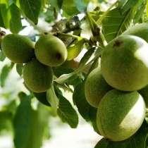 Выращиваю саженцы грецкого ореха, в г.Барановичи