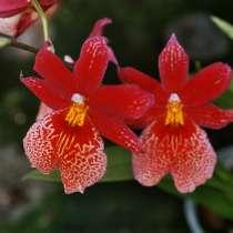Орхидея Burrageara (Буррагеара), в Калининграде
