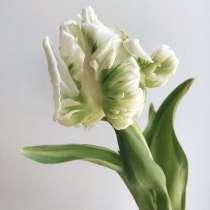 Тюльпаны оптом Супер Пэррот в Красноярске, в Красноярске