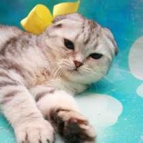 Кошечка скоттиш фолд, в Дмитрове