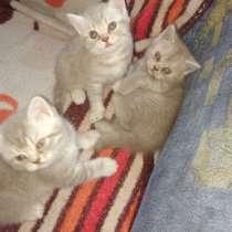 Британские котята, в Иркутске