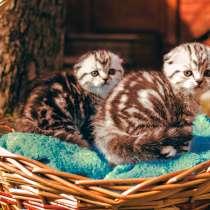 Роскошные котята scottish fold, в Саратове