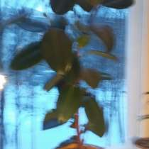 Продаю растения для офиса, в Санкт-Петербурге