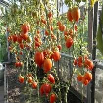 Семена томата ЛЕГЕНДА ТАРАСЕНКО - 20шт, в Новосибирске