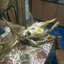 Продам рога лося вместе с черепом и челюстью, в Переславле-Залесском