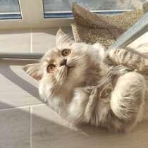 Шотландские котята, в г.Минск