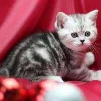 Шотландские котята на продажу: страйты и фолды, в Москве