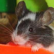 Японская бамбуковая мышка, в Ростове-на-Дону
