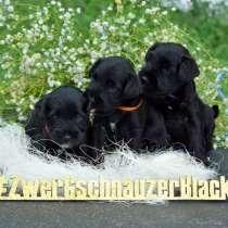 Цвергшнауцер черный щенки, в г.Бургас