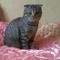 Шотландский котенок, в Дмитрове