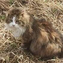 Взрослый пушистый котик ищет дом, в Санкт-Петербурге