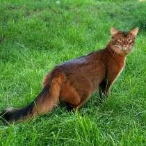 Сомалийские кошки-роскошь совершенства, в г.Варшава