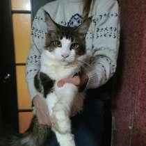 Коты гиганты породы мейн кун, в Краснодаре