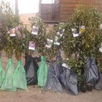 Саженцы плодовых деревьев, в Самаре
