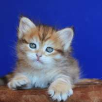 Сибирские котята из питомника, в Челябинске