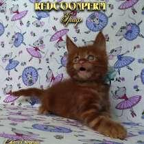 Котёнок мейн кун красный. Шоу класс. Из питомника, в Москве