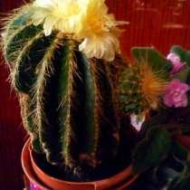 Продаётся кактус, цветущий ежегодно. 10€, в г.Рига