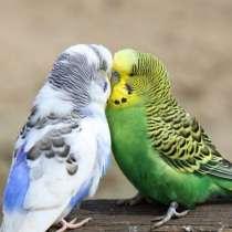 Продам волнистых попугаев, в Иркутске