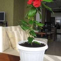 Продаю комнатное дерево китайская роза (гибискус), в Ростове-на-Дону