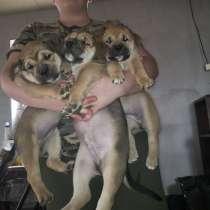 Очаровательные щенки Ка де бо (девочки), в Нижнем Новгороде